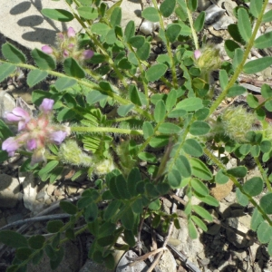 - Astragalus echinatus Murray