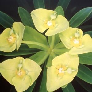 Euphorbia dendroides L. (Euphorbe arborescente)