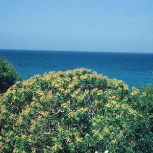 Photographie n°191390 du taxon Euphorbia dendroides L. [1753]
