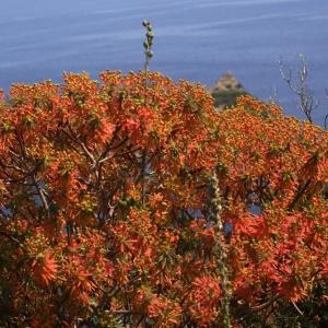 Photographie n°191392 du taxon Euphorbia dendroides L. [1753]