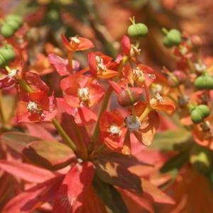 Photographie n°191393 du taxon Euphorbia dendroides L. [1753]