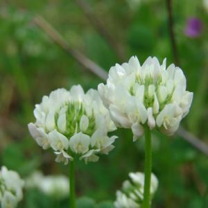 Trifolium nigrescens Viv. (Trèfle noircissant)