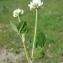 Paul Fabre - Trifolium nigrescens Viv.