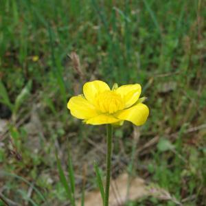 - Ranunculus paludosus Poir.