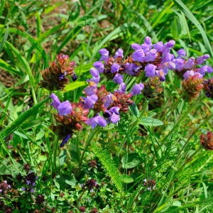- Prunella grandiflora (L.) Schöller