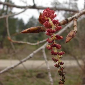 Photographie n°191468 du taxon Populus nigra L.
