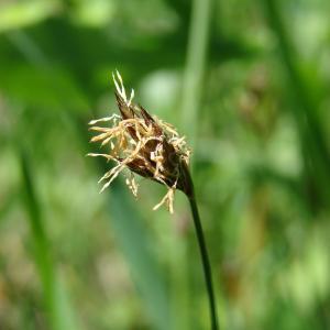 Carex divisa subsp. chaetophylla (Steud.) Nyman [1882] (Laiche à feuilles filiformes)