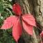 Liliane Roubaudi - Parthenocissus quinquefolia (L.) Planch. [1887]