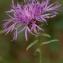 Daniel K - Centaurea jacea L. [1753]