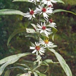 Photographie n°191713 du taxon Aster x salignus Willd. [1803]