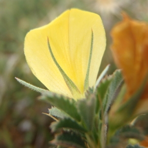 Ononis pusilla L. (Bugrane fluette)