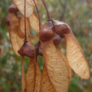 Photographie n°191756 du taxon Acer monspessulanum L. [1753]