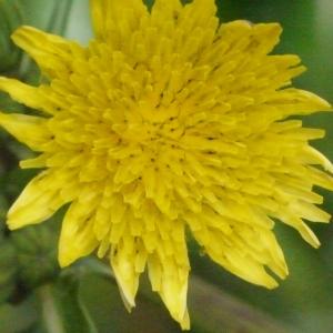 Sonchus asper (L.) Hill (Laiteron épineux)