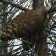 Jean-Claude Echardour - Pinus pinaster Aiton [1789]