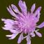 Liliane Roubaudi - Centaurea jacea L. [1753]