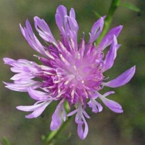 Centaurea jacea L. (Centaurée jacée)