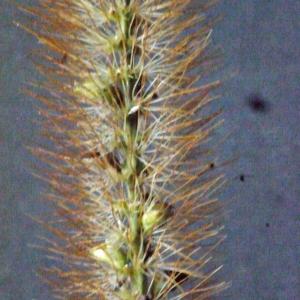 - Setaria verticillata (L.) P.Beauv. [1812]