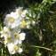 Jean-Claude Calais - Achillea ptarmica subsp. pyrenaica (Sibth. ex Godr.) Heimerl