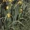 Liliane Roubaudi - Iris pseudacorus L.