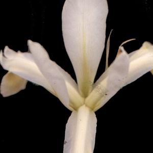 Photographie n°191907 du taxon Iris pseudacorus L. [1753]