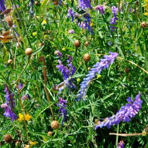 - Vicia cracca L. [1753]