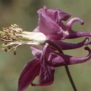 Aquilegia atrata W.D.J.Koch (Ancolie noirâtre)