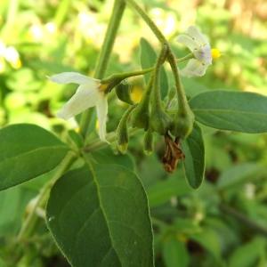 Solanum nigrum subsp. schultesii (Opiz) Wessely (Morelle de Schultes)