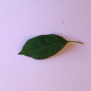 - Prunus domestica L. [1753]