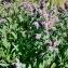 Jean-Pierre Cazes - Mentha longifolia (L.) Huds. [1762]