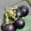 Marie  Portas - Solanum nigrum subsp. nigrum