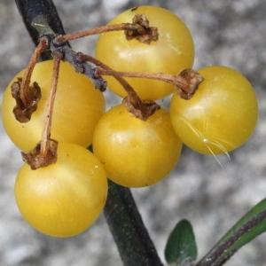 - Solanum nigrum var. flavum (Dunal) Rouy [1908]