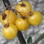 Marie  Portas - Solanum nigrum var. flavum (Dunal) Rouy [1908]