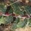 Marie  Portas - Hieracium eriophorum St.-Amans [1801]