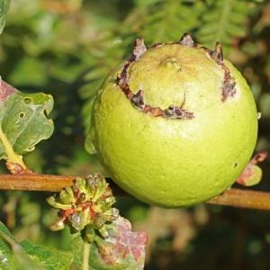 Photographie n°192397 du taxon Quercus robur L. [1753]