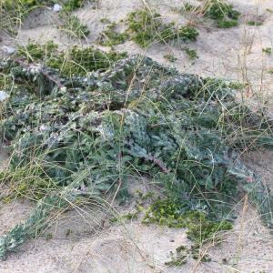 - Hieracium eriophorum St.-Amans