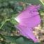 Marie  Portas - Hibiscus roseus Thore ex Loisel. [1807]