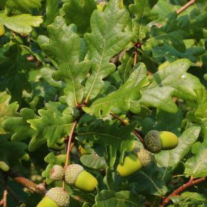 Photographie n°192445 du taxon Quercus robur L. [1753]