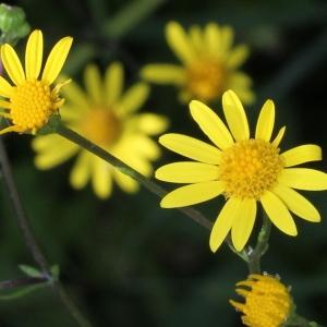 Senecio aquaticus Hill subsp. aquaticus (Séneçon aquatique)