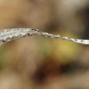 - Arabis alpina L.