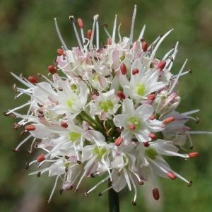 Photographie n°192569 du taxon Allium ericetorum Thore [1803]