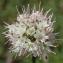 Marie  Portas - Allium ericetorum Thore [1803]