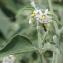 Marie  Portas - Solanum chenopodioides Lam. [1794]