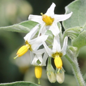 Solanum chenopodioides Lam. (Morelle faux chénopode)