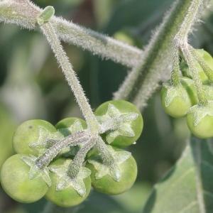 - Solanum chenopodioides Lam. [1794]