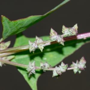 Atriplex hastata subsp. depressa (Hartm.) Hartm. (Arroche couchée)