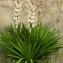 Jean-Jacques Houdré - Yucca gloriosa L.