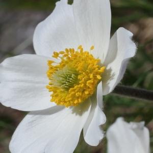 Anemone alpina L. (Anémone des Alpes)
