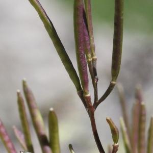 - Cardamine resedifolia L. [1753]