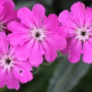 Lychnis flos-jovis (L.) Desr. (Lychnis fleur de Jupiter)