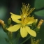 Marie  Portas - Hypericum hirsutum L.